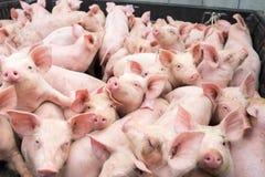 Pequeños cerdos en la granja Foto de archivo