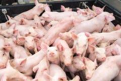 Pequeños cerdos en la granja Fotos de archivo