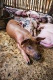 Pequeños cerdos en la granja Imagen de archivo libre de regalías