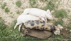 Pequeños cerdos en una granja Foto de archivo libre de regalías