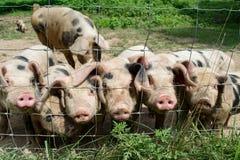 Pequeños cerdos felices Imagen de archivo