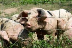 Pequeños cerdos felices Fotografía de archivo libre de regalías