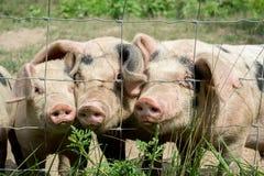Pequeños cerdos felices Imagenes de archivo