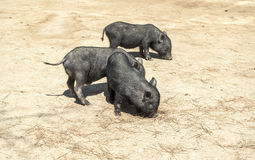 Pequeños cerdos negros Fotos de archivo libres de regalías