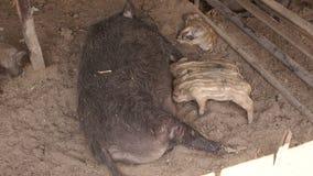 Pequeños cerdos que comen la leche de la madre en la granja metrajes