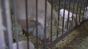 Pequeños cerdos que juegan con su cerda en la paja 4K metrajes