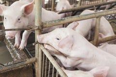 Pequeños cerdos que juegan feliz Imagenes de archivo