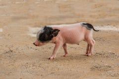 Pequeños cerdos rosados Imagen de archivo libre de regalías