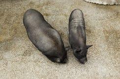 Pequeños cerdos vietnamitas Fotografía de archivo