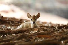 Pequeños ciervos Imagen de archivo