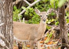 Pequeños ciervos dominantes en las llaves de la Florida de maderas foto de archivo