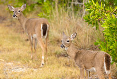 Pequeños ciervos dominantes en las llaves de la Florida de maderas fotos de archivo