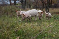 Pequeños cochinillos rosados de la manada fotografía de archivo