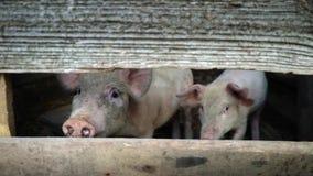 Pequeños cochinillos rosados en una granja Dos cerdos miran en la cámara a través de una ranura en una cerca de madera, protecció almacen de metraje de vídeo