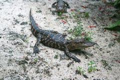 Pequeños cocodrilos Foto de archivo