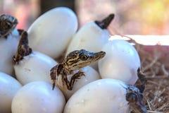 Pequeños cocodrilos del bebé Fotos de archivo