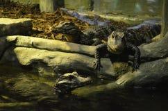 Pequeños cocodrilos en un tanque Fotos de archivo libres de regalías