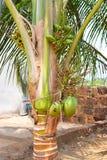Pequeños cocos inmaduros verdes en un árbol de coco enano - Cocos Nucifera Nana Fotos de archivo libres de regalías