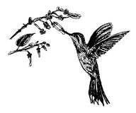 Pequeños colibríes de dibujo y rama floreciente, ejemplo del pájaro del bosquejo Imagen de archivo