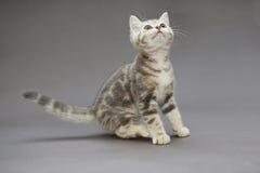 Pequeños colores británicos del gris del gatito Imagen de archivo
