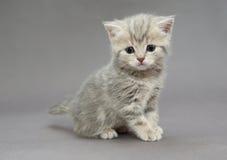 Pequeños colores británicos del gris del gatito Foto de archivo libre de regalías