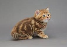 Pequeños colores británicos del mármol del gatito Fotografía de archivo