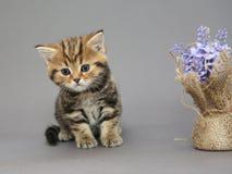 Pequeños colores británicos del mármol del gatito Foto de archivo libre de regalías