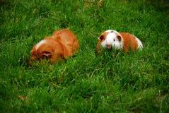 Pequeños conejillos de Indias que corren en hierba Fotografía de archivo libre de regalías