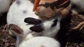 Pequeños conejos de alimentación Oryctolagus con la zanahoria metrajes