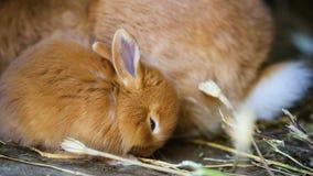 Pequeños conejos rojos almacen de metraje de vídeo