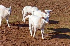Pequeños corderos Fotos de archivo