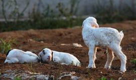 Pequeños corderos Fotografía de archivo libre de regalías