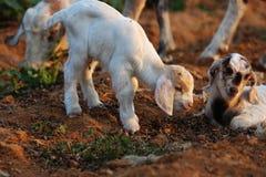 Pequeños corderos Foto de archivo libre de regalías