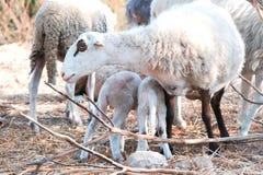 Pequeños corderos con su madre Fotos de archivo