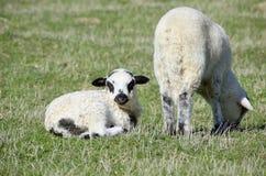 Pequeños corderos en campo Imágenes de archivo libres de regalías