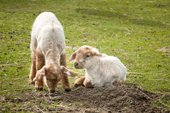 Pequeños corderos en resorte Foto de archivo