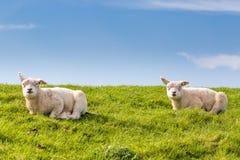 Pequeños corderos que mienten en la hierba Foto de archivo