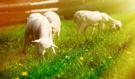 Pequeños corderos que pastan en un prado verde hermoso con el diente de león Foto de archivo libre de regalías
