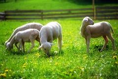 Pequeños corderos que pastan en un prado verde hermoso con el diente de león Fotografía de archivo