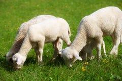 Pequeños corderos que pastan en un prado verde hermoso con el diente de león Fotos de archivo libres de regalías
