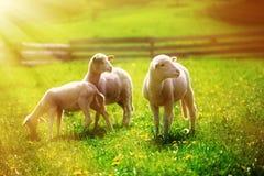Pequeños corderos que pastan en un prado verde hermoso con el diente de león Fotos de archivo