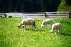 Pequeños corderos que pastan en un prado verde hermoso con el diente de león Foto de archivo
