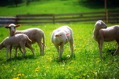Pequeños corderos que pastan en un prado verde hermoso con el diente de león Imagenes de archivo