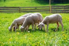 Pequeños corderos que pastan en un prado verde hermoso con el diente de león Imagen de archivo libre de regalías