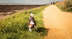 Pequeños Corgis Galés del perro del Pembroke que caminan en la playa Imagen de archivo