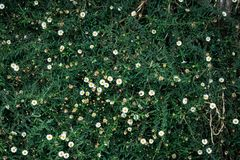 Pequeños crisantemos con el fondo de la hierba verde Fotografía de archivo