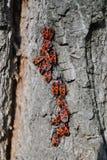 pequeños escarabajos - los soldados imagen de archivo