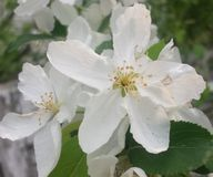 Pequeños flores blancos como la nieve foto de archivo libre de regalías