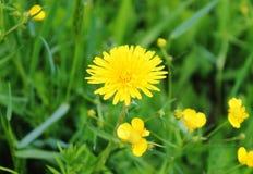 Pequeños flores y diente de león amarillos en la hierba verde foto de archivo