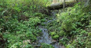 Pequeños flujos del río en el bosque durante el d3ia almacen de metraje de vídeo